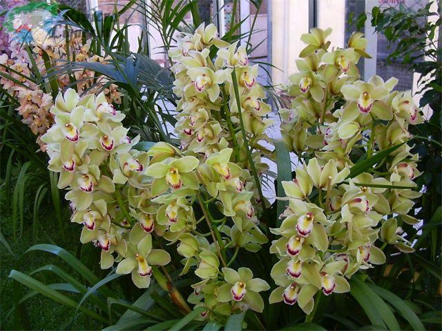 Albenga - Orchidea da esterno cymbidium ...